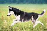 Husky running across green grass