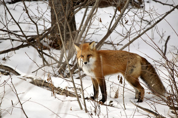 Red Fox in a forest in Alberta Canada