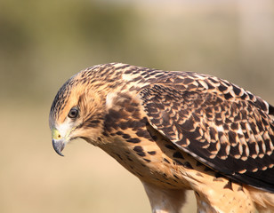 Close up of a young hawk in scenic Saskatchewan