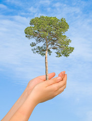 pine tree in palms as a symbol of nature protection