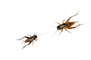 insects - crickets