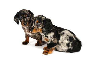 dachshund puppies in studio