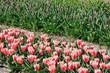 Beautiful Dutch tulip flowers in field
