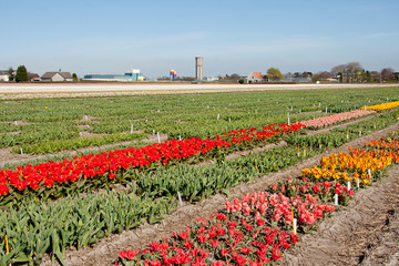 Dutch landscape, bulb fields with white tulips