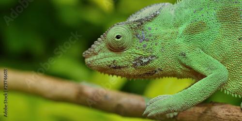 Foto op Canvas Kameleon caméléon