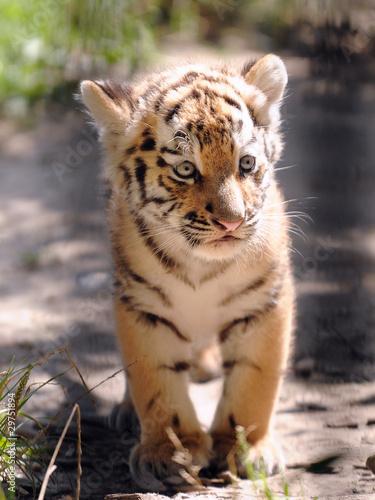 Fotobehang Tijger Tigerbaby