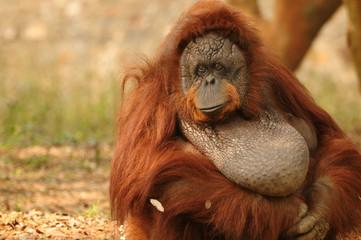 Adult orangutan portrait