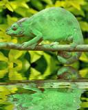 Fototapeta zielony - gad - Gady/Płaz