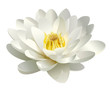 realistic white water lily vector - 29770455