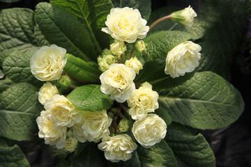 Primeln in voller Blütenpracht