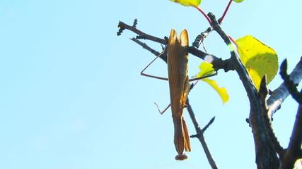 Mantis hanging