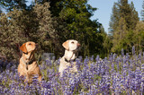 Two female Labradors sitting in the wildlflowers