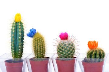 4 mini Cactus (Cactaceae)
