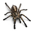 Tarantula spider, Poecilotheria Metallica, in front of white bac - 29798645