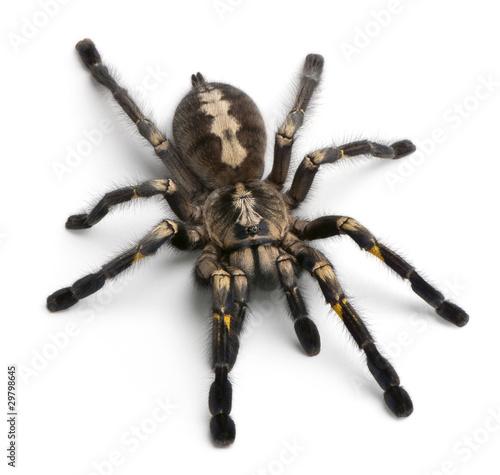 Leinwanddruck Bild Tarantula spider, Poecilotheria Metallica, in front of white bac