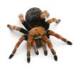 Tarantula spider, Brachypelma Boehmei - 29798860