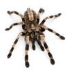Tarantula spider, Poecilotheria Miranda