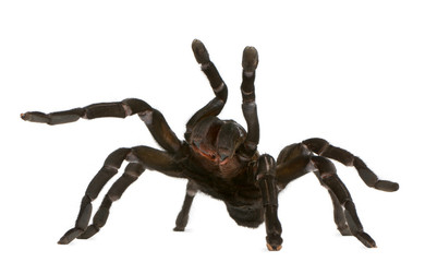 Tarantula spider attacking, Haplopelma Minax