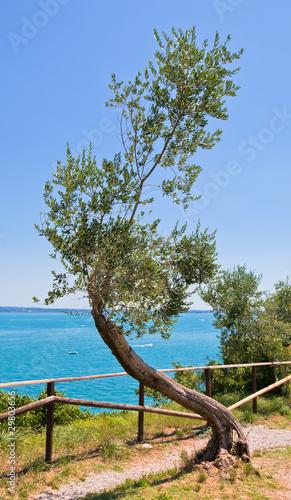 Foto op Plexiglas Olijfboom old curve olive tree