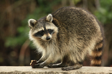 Cute raccoon nibles a chocolate cookie