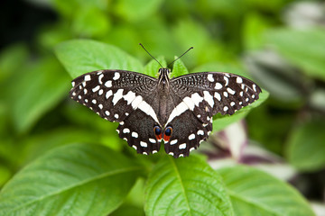 black and white swallowtail
