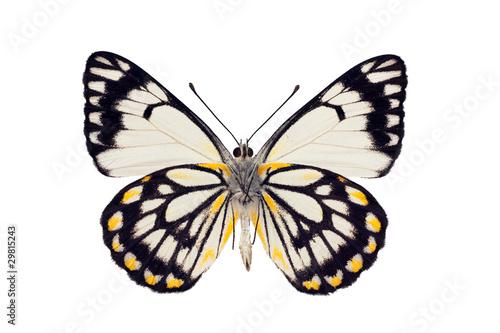 Poster Butterfly underside, Caper White, Belenois java, male, wingspan