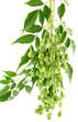 fruits du neem, margousier; azadirachta indica