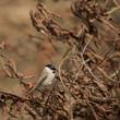 Poecile palustris (Mésange nonnette - Marsh Tit)