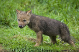 Wolfswelpe ( Canis lupus ) poster