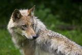 Wolfsrüde ( Canis Lupus ) poster