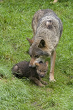 Wölfin mit Welpe ( Canis lupus ) poster