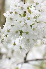 Kirschblütenzweig 2