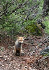 Red fox Sierras de Cazorla Andalusia Jaen Spain