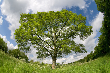 Sycamore Tree In Spring Meadow