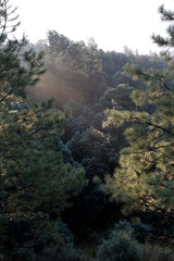 Sunlight Ray Morning Pine Tree Forest NM