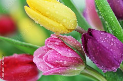 Zdjęcia na płótnie, fototapety na wymiar, obrazy na ścianę : Spring tulip flowers close-up