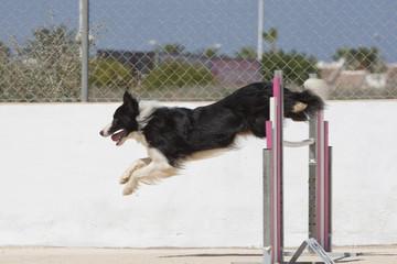 Perro Dog