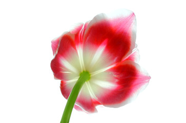 Beautiful tulip isolated on white