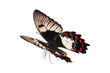 Butterfly in flight, Orchard Swallowtail, Papilio Aegeus, female