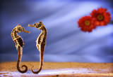seahorses poster