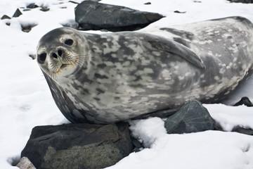 The grey seal