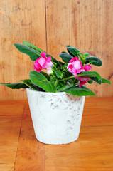 Gloxinie Zimmerpflanzen Blumentopf