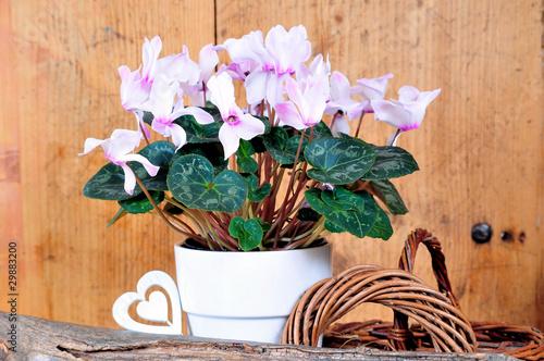 rosa Alpenveilchen Cyclamen Zimmerpflanze
