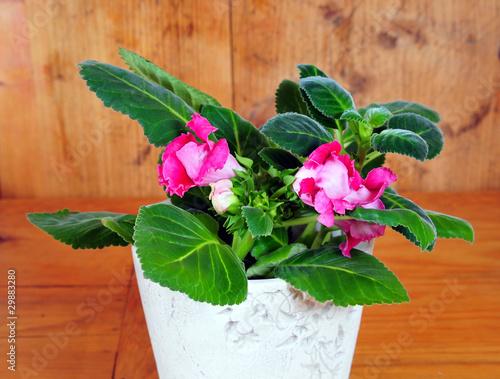 pink gloxinie zimmerpflanzen blumentopf stockfotos und. Black Bedroom Furniture Sets. Home Design Ideas