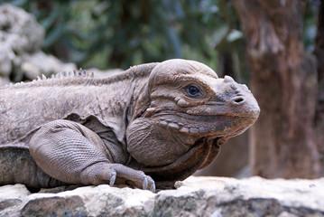 Schuppenkriechtier - Leguan