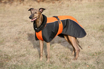 dressed dog - whippet