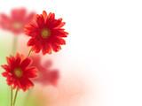 Gerberas rouges - 29916257