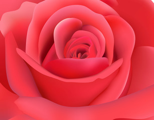 Macro image of dark pink rose. Vector illustration.