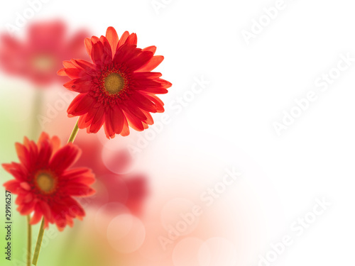 Gerberas rouges