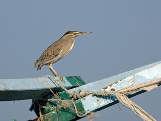 Green Heron on the Old Ship